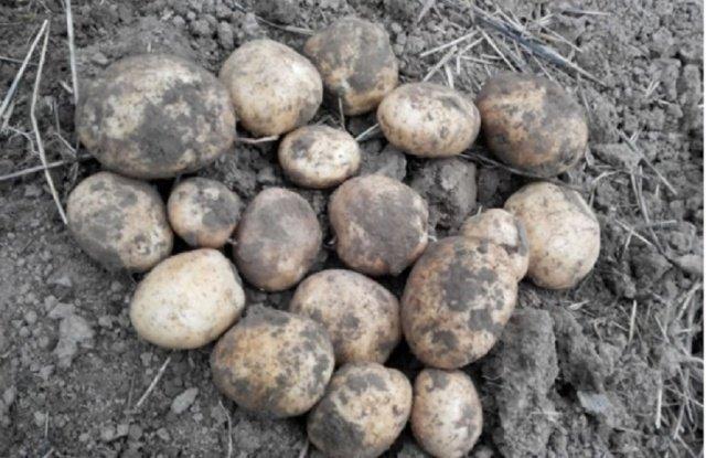 Урожай картофеля Сынок