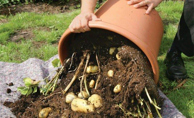 Урожай картофеля, выращенного в ведре