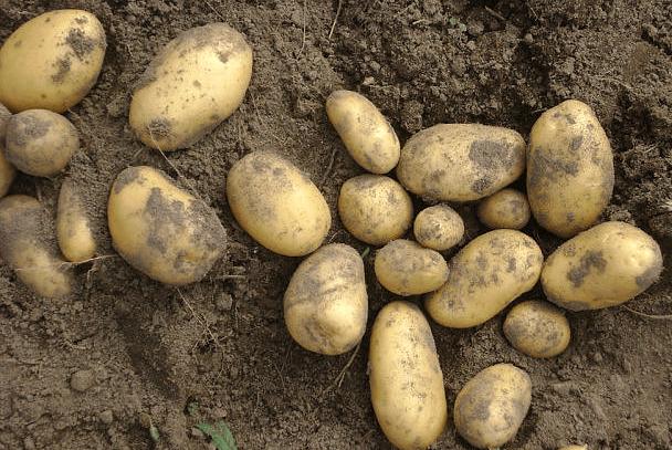 Урожай Колетте