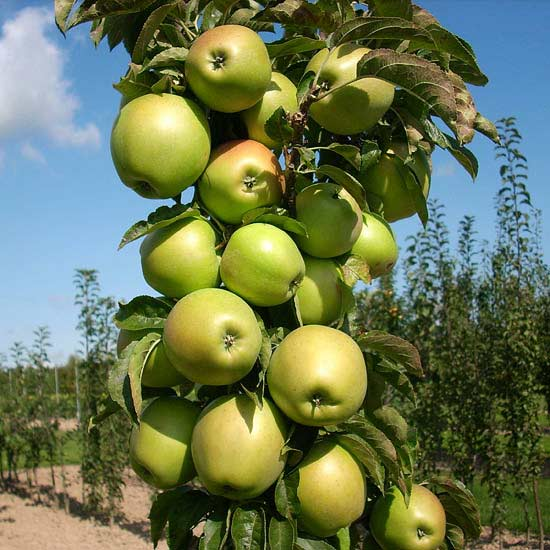 Урожай на колонновидной яблоне Президент