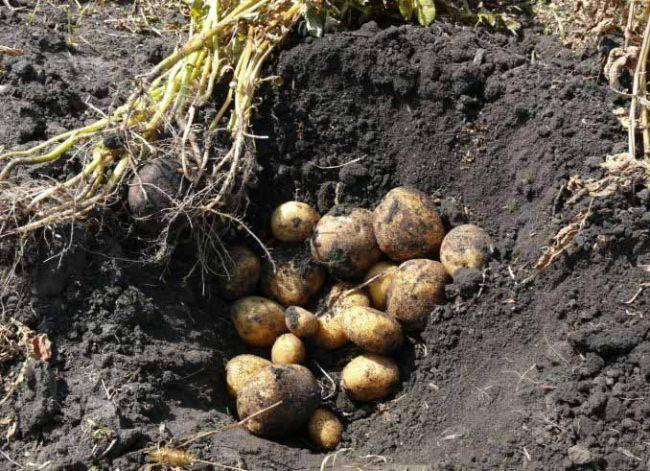 Урожай картофеля Винета