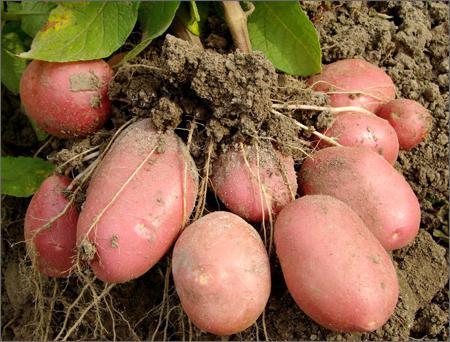 Урожайность сорта Беллароза