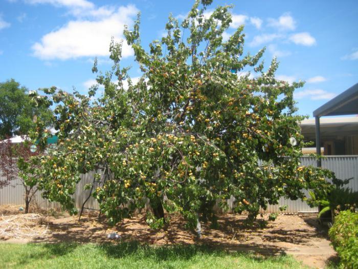 Дерево абрикоса Триумф северный