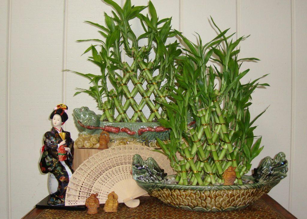 Драцена Сандера или бамбук счастья