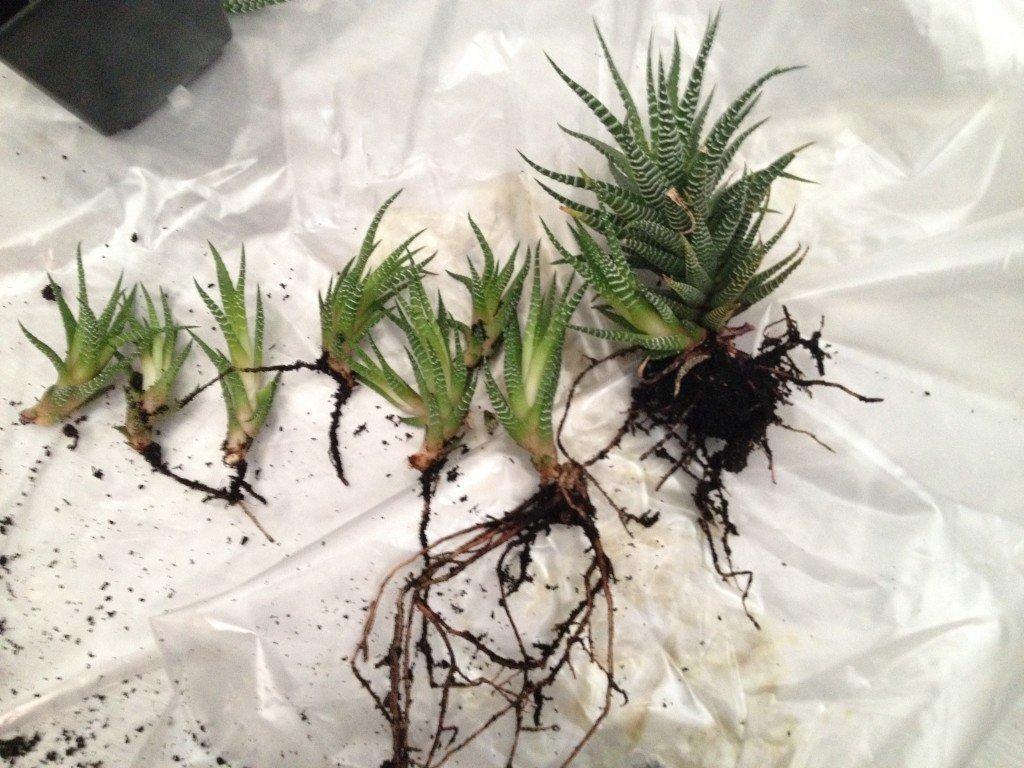 Хавортия: виды цветка, уход и размножение в домашних условия.