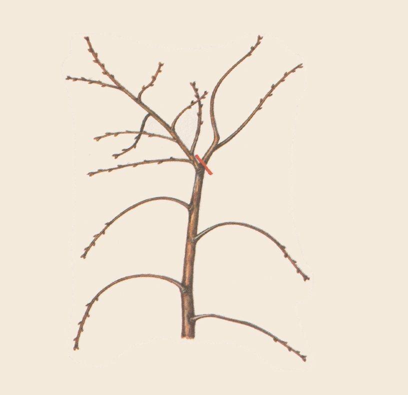 Обрезка ветки кустовидной вишни