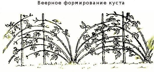 Веерная подвязка малины