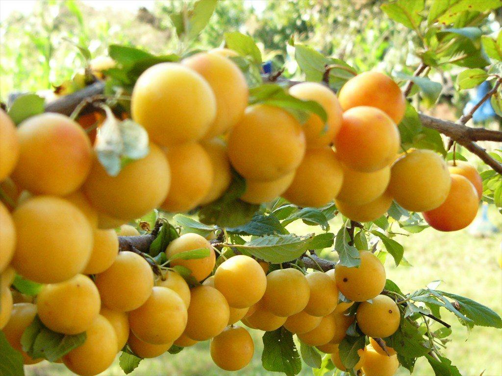 Ветка алычи Злато скифов с плодами