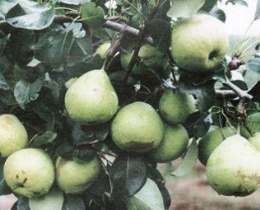 Ветвь груши Память Жегалова
