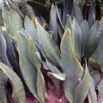 Сансевиерия гиацинтовая