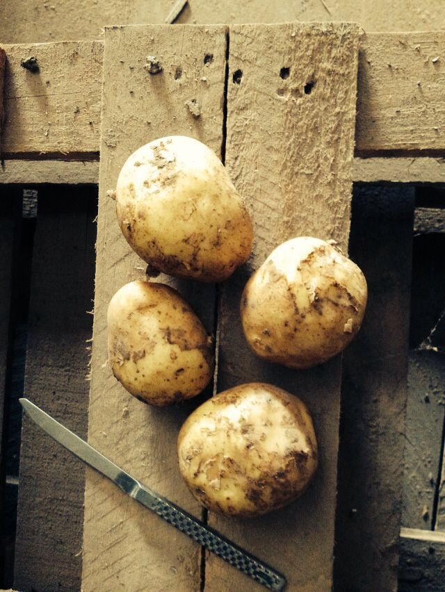 Сорт сладкого картофеля Винета
