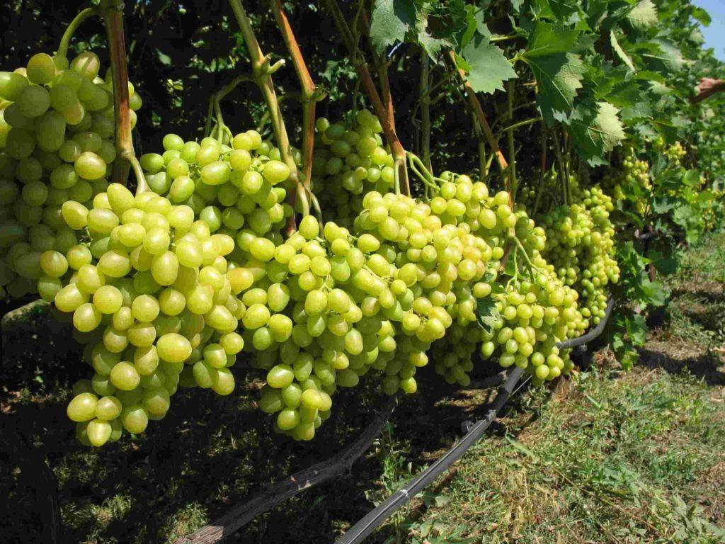 Виноград Аркадия на кустах