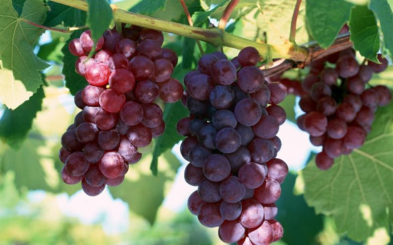 Виноград сорта Лидия