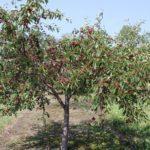 Дерево вишни в саду