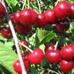 Ягоды и листья Тургеневки