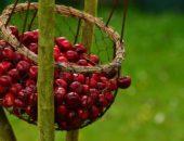 вишня урожай