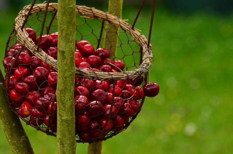 Вишня Молодёжная: всё о посадке и уходе для долгого и урожайного плодоношения
