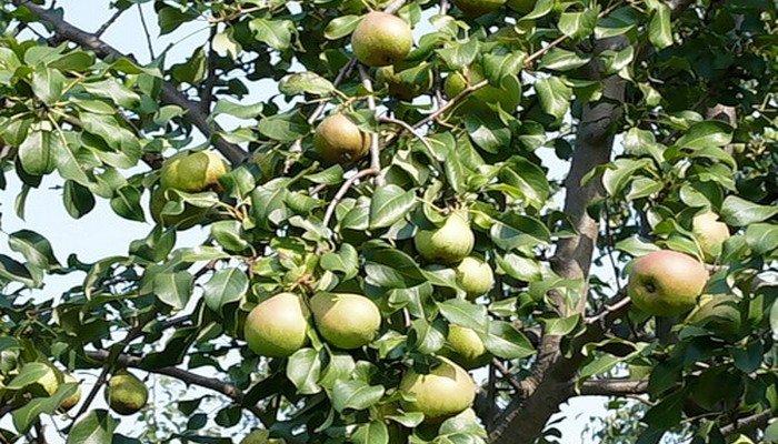 Внешний вид дерева Белорусской поздней