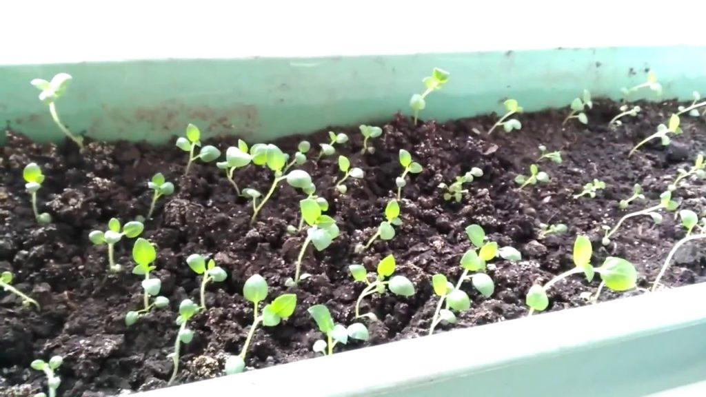 Всходы картофеля Императрица из семян
