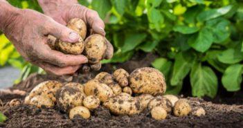 выбираем самый вкусный картофель