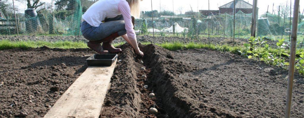 Женщина раскладывает картофель в борозде