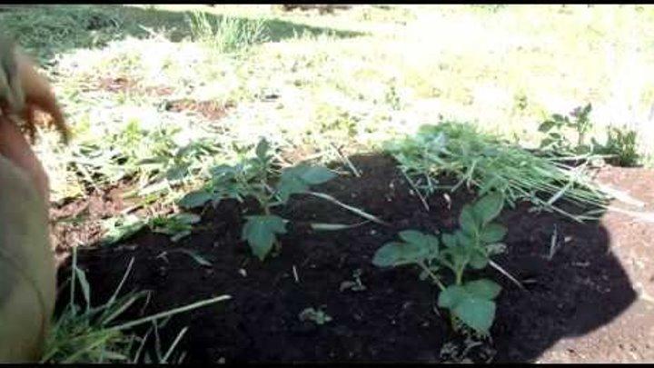 Высадка сеянцев в открытый грунт