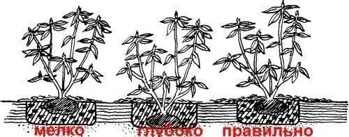 Схема посадки куста малины
