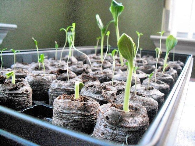 Вытянувшиеся ростки тыквы