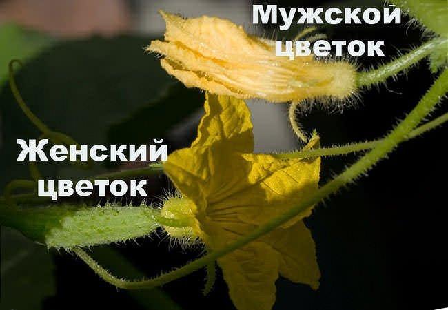 Мужской и женский цветки огурца