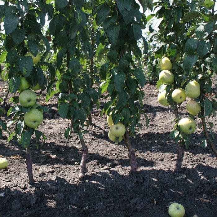 усыпанные плодами яблони Президент