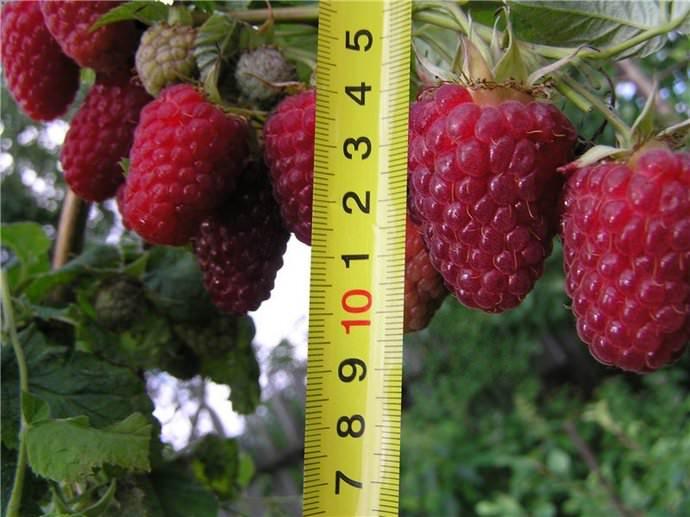 Ягоды малины и измерительная рулетка