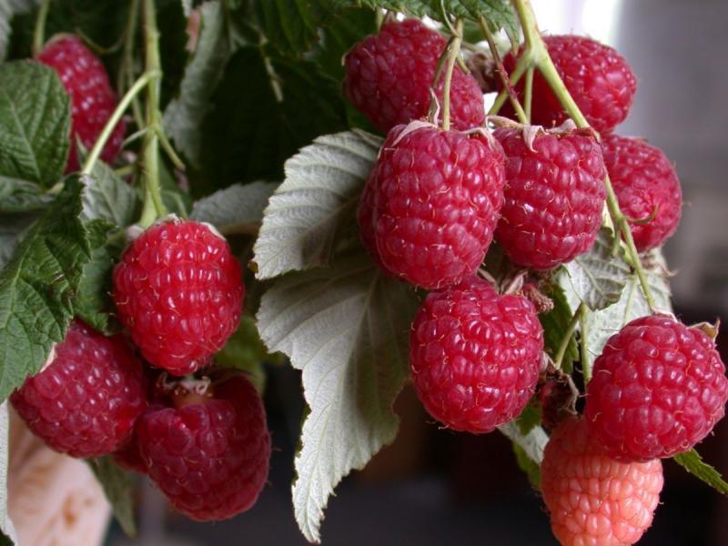 Неприхотливая и урожайная малина Гусар: советы по выращиванию