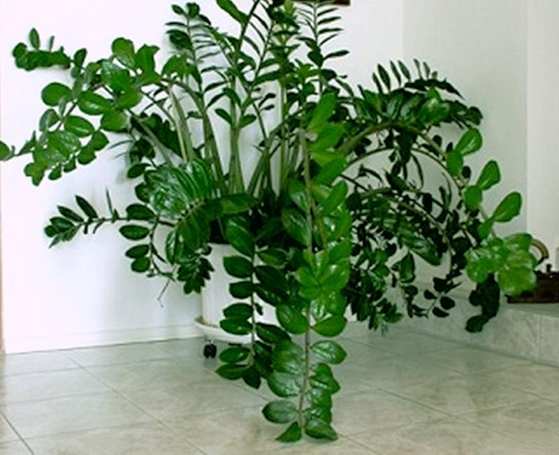 Замиокулькас