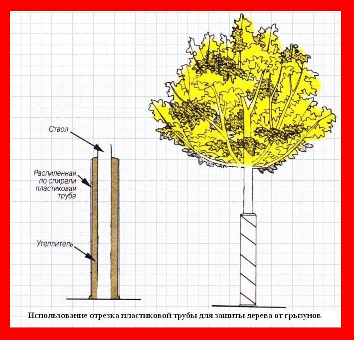 Защита дерева от грызунов с помощью пластиковой трубы