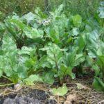 Зелёные листья у свеклы