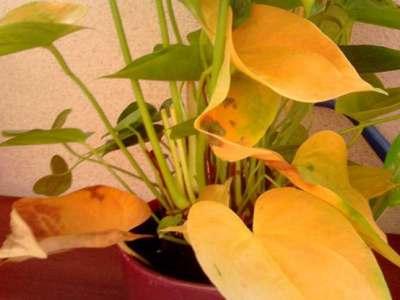 Желтеющие листья антуриума