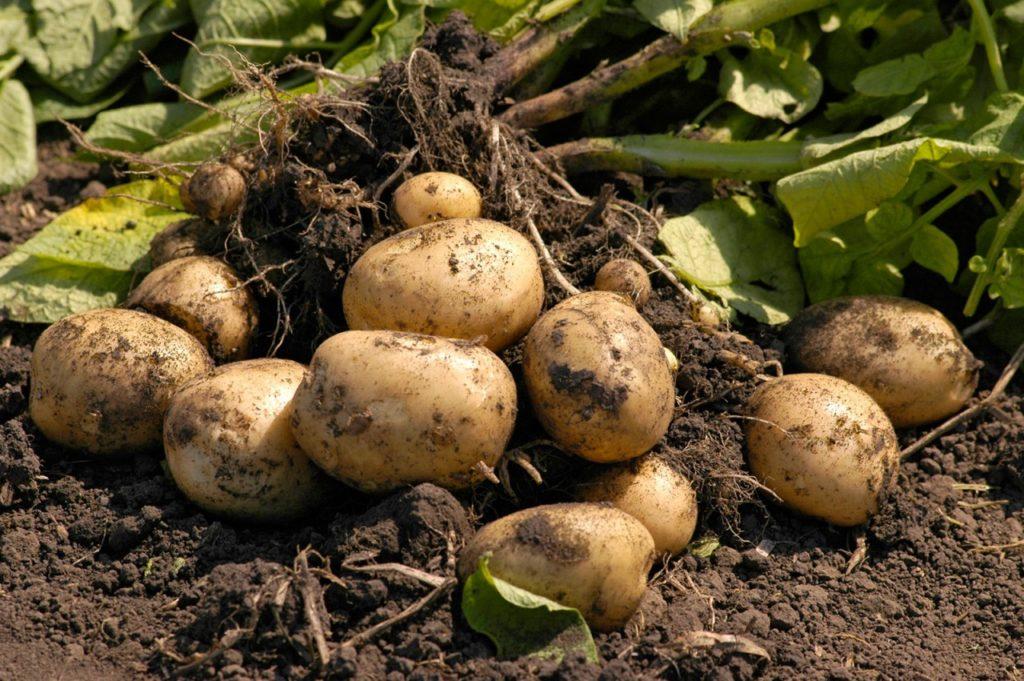 Зрелый картофель