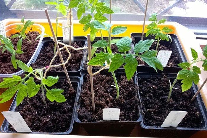 Удаление семядольных листочков у рассады томатов