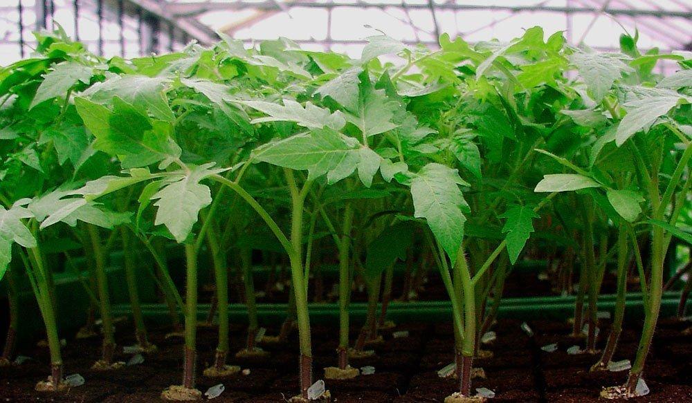 Причины вытянутой рассады помидоров