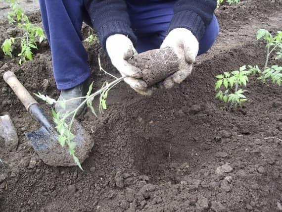 Саженец томата с комом земли