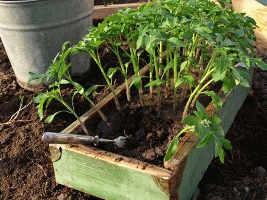 Повторная пикировка рассады томатов
