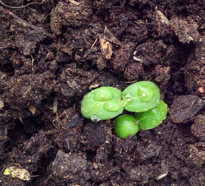 Росточки огурцов в открытом грунте
