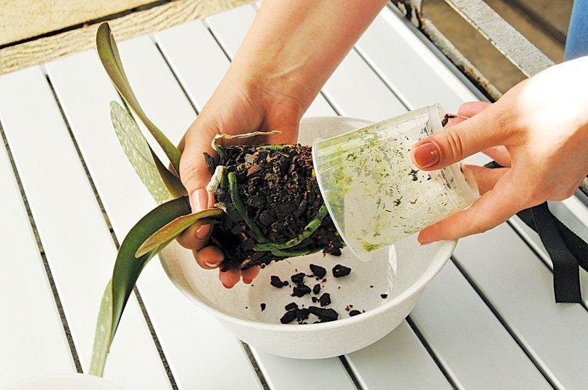 Как вынуть орхидею из горшка