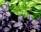Базилик зелёный и фиолетовый