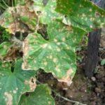 Болезни огурцов — антракноз