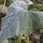 Болезни огурцов — мучнистая роса