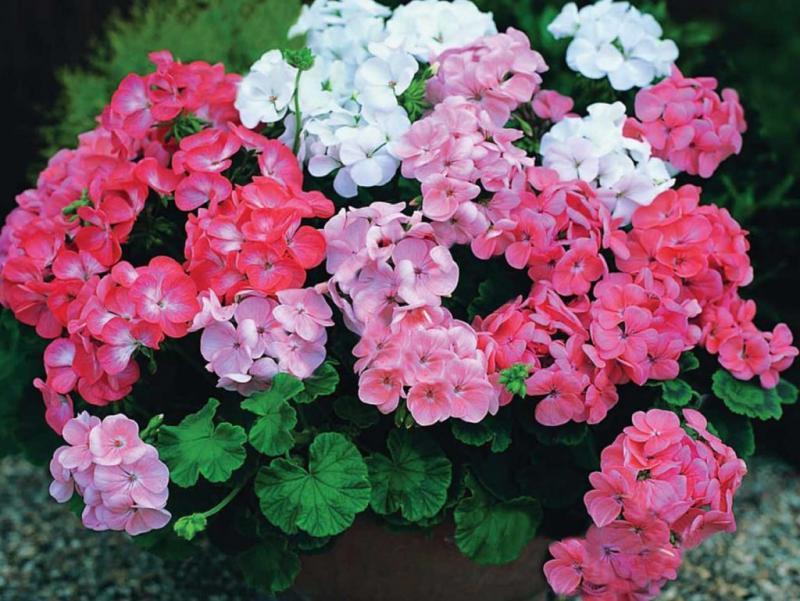Цветение пеларгонии