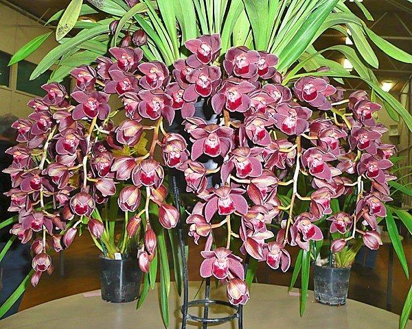 Цветы цимбидиума