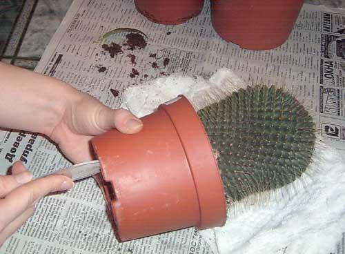 Извлечение кактуса