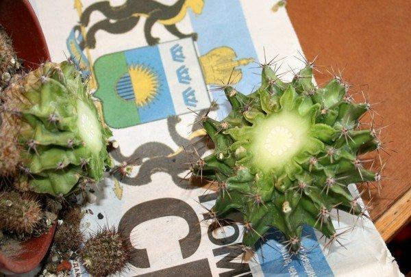 Срезанный стебель кактуса